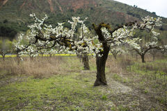 Almond trees blooming Stock Image