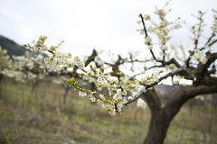 Almond trees blooming Stock Photo