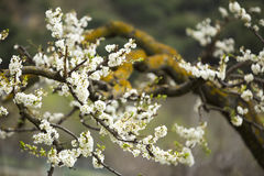 Almond trees blooming Stock Photography