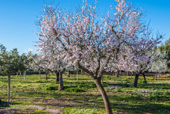 Almond trees blooming in winter sun in Majorca, Spain. Closeup of pink blossoms of almond trees in Majorca, Spain and blue sky in background Stock Photography