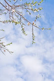 Almond trees blossom. Against blue sky with clouds in Mallorca, Balearic islands, Spain in February Royalty Free Stock Photo