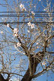 Almond trees blossom. Among power lines in Mallorca, Balearic islands, Spain in February Royalty Free Stock Photography