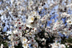 Almond trees blossom. Stock Image