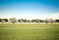 Almond trees blossom in spring season Stock Photos