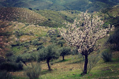 Almond trees in blossom Royalty Free Stock Photography
