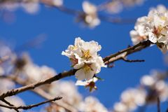 Almond Trees Blossoms Blossoming in the park during August. Spring Time in Adelaide South Australia. stock photo
