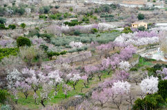 Almond trees in the farm. Royalty Free Stock Photography