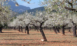 Almond trees field during sunny winter. Flowered almond trees (prunus dulcis) on a field in the Spanish Balearic island of Mallorca Stock Photo