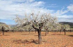 Almond trees field during sunny winter wide view Stock Photos