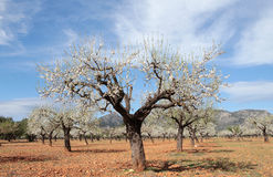 Almond trees field wide Stock Photography
