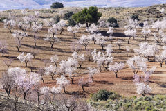 Almond trees in full bloom Stock Photo