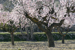 Almond trees in full bloom Stock Image