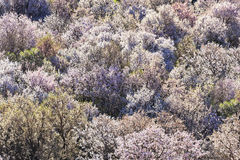 Almond trees in full blossom. Royalty Free Stock Image