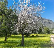 almond trees stock photo