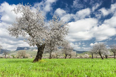 almond trees Stock Images