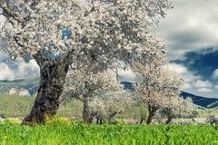 almond trees Stock Photos