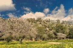 almond trees Stock Image