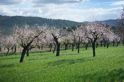 Almond trees green field Stock Image