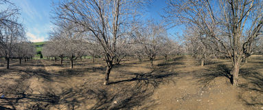 Almond trees in Lachish, Israel Stock Photography