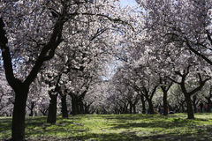 Almond trees, Madrid Royalty Free Stock Images