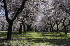 Almond trees, Madrid Royalty Free Stock Photography