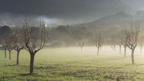 Almond trees in the mist at sunrise royalty free stock images
