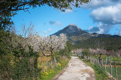 Almond trees mountain road Stock Photography