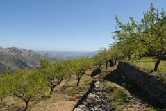 Almond trees on mountain terraces, Spain royalty free stock photo