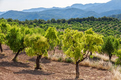 Almond trees in Ports de Besseit Stock Images