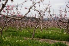 Almond trees. Spain Royalty Free Stock Photos