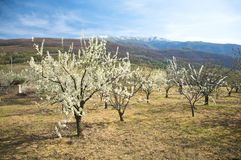 Almond trees at valley of jerte Royalty Free Stock Photos
