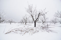 Almond trees in winter Royalty Free Stock Photography