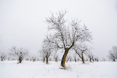 Almond trees in winter Stock Photography