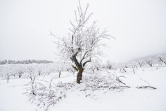 Almond trees in winter Royalty Free Stock Images
