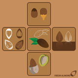 Almond Vector and Icon Stock Images