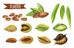 Almond, Watercolor Set, Clipping Paths Included Stock Photos