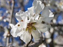 Almond White Flower. White flower of an almond tree blooming in spring Stock Image