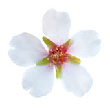 Almond white flowers Royalty Free Stock Images