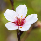 Almond white flowers Stock Images