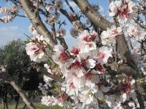 almonds στοκ εικόνα με δικαίωμα ελεύθερης χρήσης