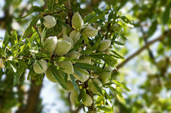 Almonds. Close-up of Almonds on Tree Stock Photo