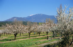 Almonds below Mount Ventoux. An almond grove blooms in springtime below Mt. Ventoux in Provence, France Royalty Free Stock Image