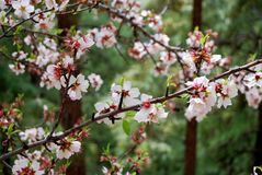 Almonds blossom. Almond tree flowered at teide tenerife Royalty Free Stock Photo