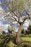 Almonds blossom Royalty Free Stock Photos