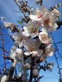 Almonds blossoming ibiza in winter Royalty Free Stock Photo