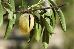 Almonds on branch Royalty Free Stock Images