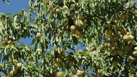 Almonds on branch. Blue sky background