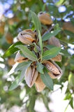 Almonds on a branch. Royalty Free Stock Photography