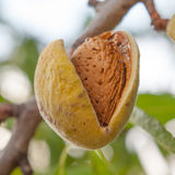 Almonds on the branch Stock Image