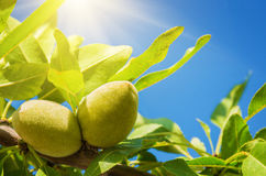Almonds. Closeup on two green almonds in tree branch under blue sky Stock Image